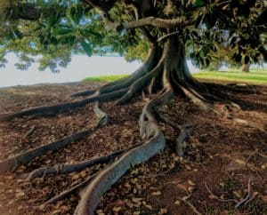 large tree with full leaves and long roots growing on top of the ground next to a body of water